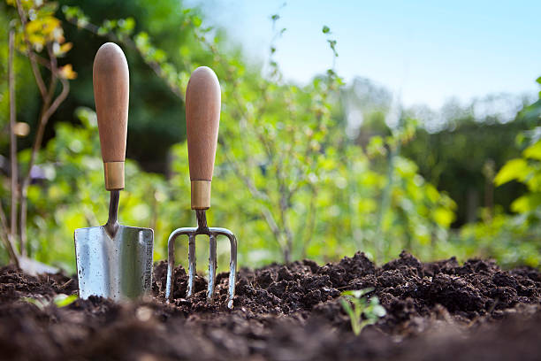 Wooden handled stainless steel garden hand trowel and hand fork tools standing in a vegetable garden border with green foliage behind and blue sky.